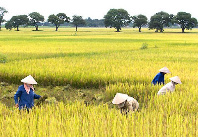 Miên giảm sử dụng thuế nông nghiệp đến năm 2020