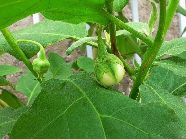 Kinh nghiệm trồng cà hiệu quả