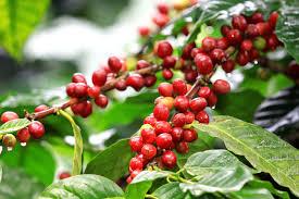 Cà phê tăng giá, nông dân phấn khởi