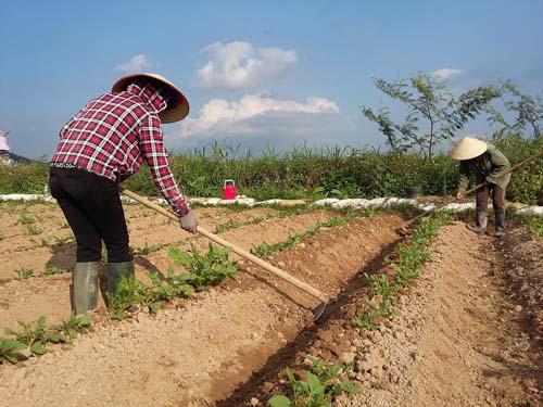 Khi cây rau màu góp phần giảm nghèo