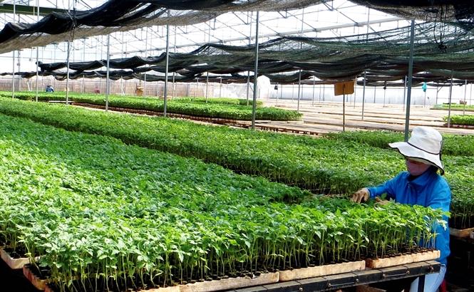 Kỹ thuật sản xuất cây giống cà chua ghép