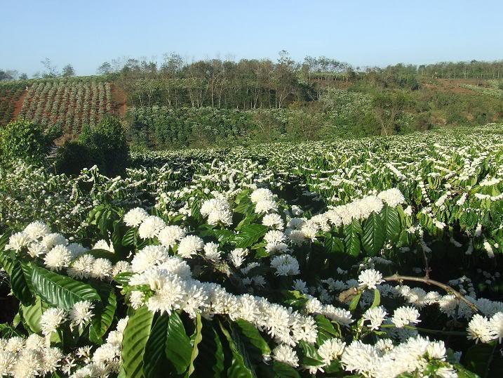 Nguyên nhân và giải pháp khắc phục cây cà phê ra hoa sớm