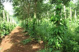 Trụ sống và lợi ích của việc sử dụng cây trụ sống cho cây hồ tiêu