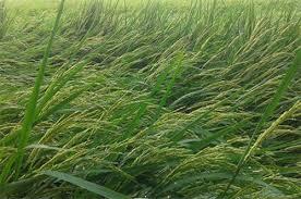 Cách khắc phục lúa đổ rạp mùa mưa bão