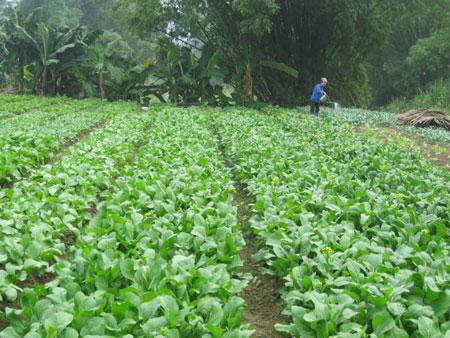 Chăm sóc, khắc phục thiệt hại cây rau màu sau mưa bão