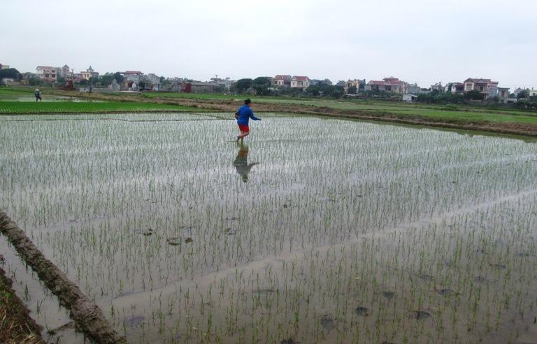 Một số biện pháp kỹ thuật để sản xuất lúa mùa hiệu quả