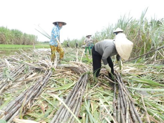 Nước đã đến chân, ngành mía đường bắt đầu 'nếm vị đắng' của ATIGA