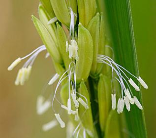 Trung Quốc: Thành công trong việc tăng năng suất giống gạo chịu mặn
