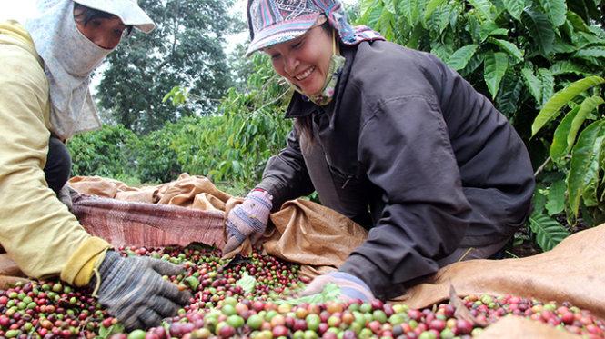 Niềm vui mùa cà phê chín ở Tây Nguyên