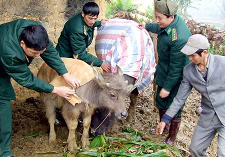 Phòng và trị một số bệnh thường gặp ở gia súc trong mùa rét