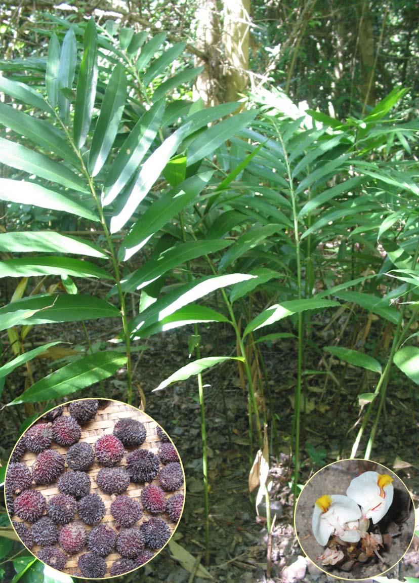 Thanh Hóa: Hiệu quả bước đầu mô hình trồng thâm canh cây sa nhân