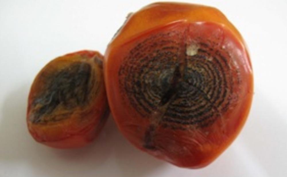 Một số loại bệnh hại trên cây cà chua và biện pháp phòng trừ