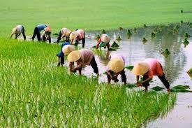 Vụ Đông Xuân, các tỉnh phía Bắc có kế hoạch giảm 5.600ha lúa