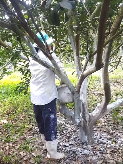 Chăm sóc cây ăn trái trong mùa mưa bão