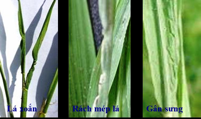 Biện pháp phòng trừ bệnh lùn sọc đen hại ngô, lúa vụ Đông Xuân