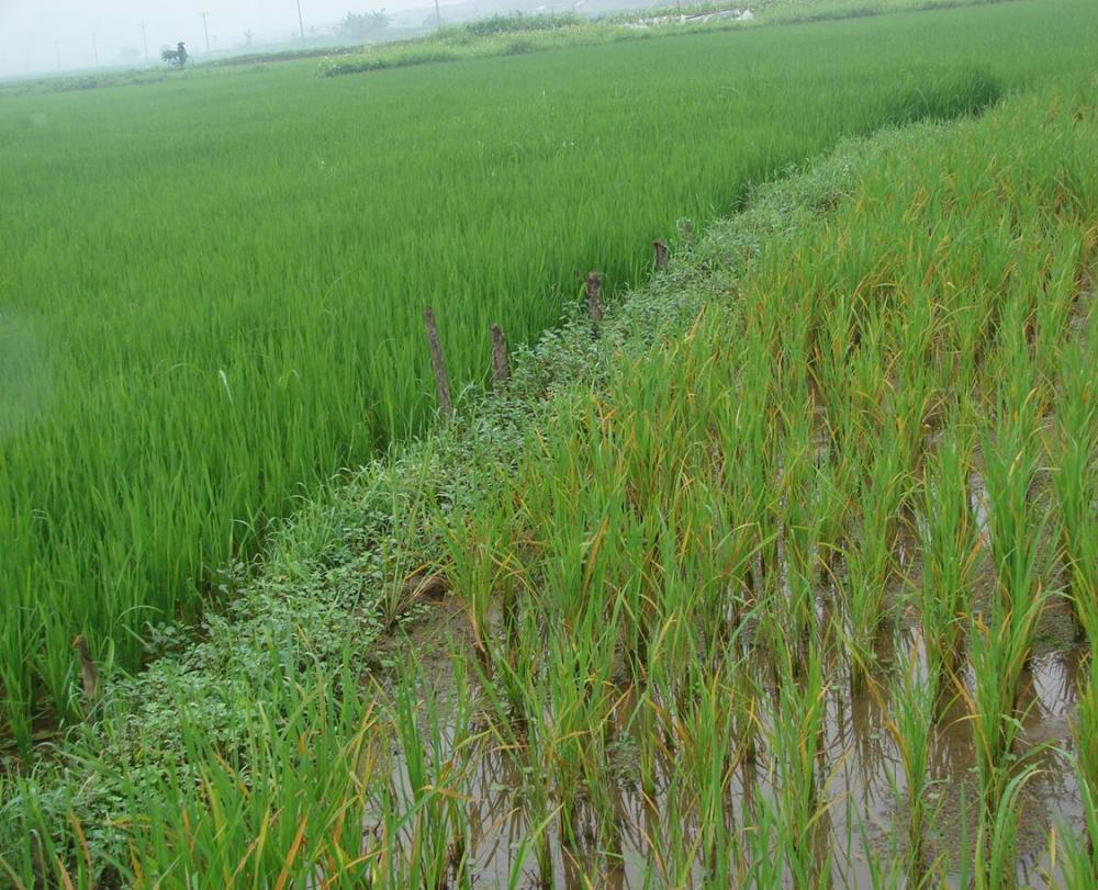 Khắc phục bệnh vàng lá do ngộ độc hữu cơ trong vụ lúa mùa 2020